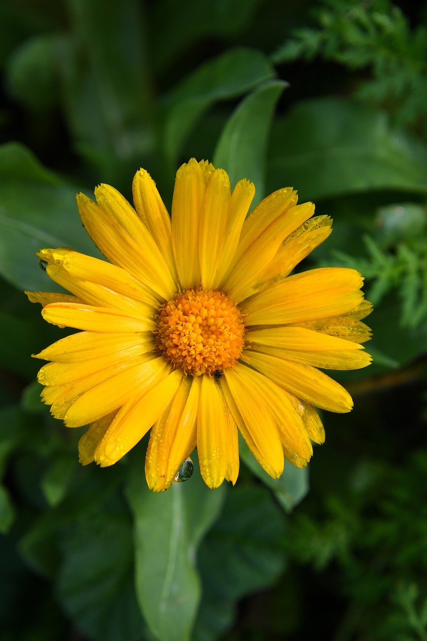 cape marigold, flower, plant